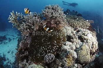 Anemonefish (Amphiprion sp) gain protection and food among stinging tentacles of host Anemone, Palau
