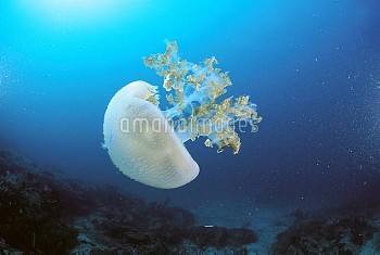 Jellyfish, Thailand