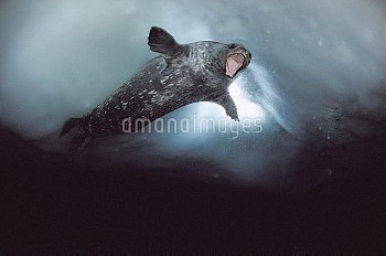 Weddell Seal (Leptonychotes weddellii) male showing aggression towards the diver who is near breathi