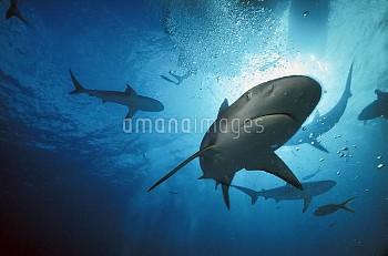 Caribbean Reef Shark (Carcharhinus perezii) underwater, Caribbean, Bahamas