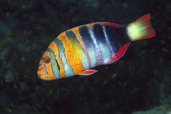 Tuskfish (Choerodon sp) a Wrasse with typical large teeth, swimming underwater, Great Barrier Reef,
