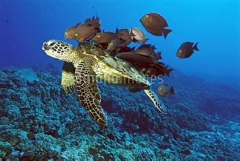 Green Sea Turtle (Chelonia mydas) being cleaned by Yellow-eyed Surgeonfish (Ctenochaetus strigosus),