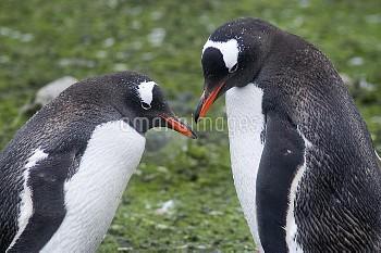 Gentoo Penguin (Pygoscelis papua) pair, Cuverville Island, Antarctica Peninsula, Antarctica