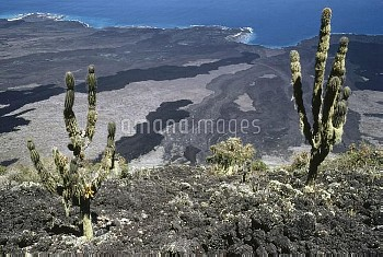 Cactus (Jasminocereus sp) on steep eastern flank of Wolf Volcano, which is streaked with recent lava