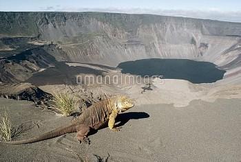 Galapagos Land Iguana (Conolophus subcristatus) overlooking 1, 000 meter deep active caldera, Fernan
