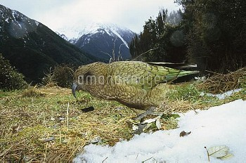 Kea (Nestor notabilis) parrot in typical alpine scrub habitat, Arthur's Pass National Park, South Is