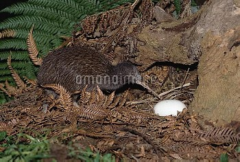 Brown Kiwi (Apteryx australis) parent with egg, Kiwi House, Otorohanga Breeding Facility, New Zealan
