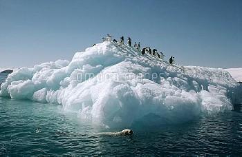 Leopard Seal (Hydrurga leptonyx) swims around Adelie Penguins (Pygoscelis adeliae) standing on ice f