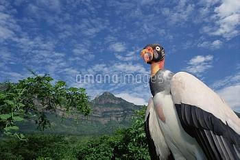 King Vulture (Sarcoramphus papa) in natural arid forest habitat, Cerro Chaparri, Lambayeque Province