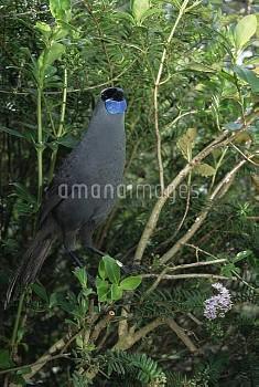 North Island Kokako (Callaeas cinerea wilsoni) threatened endemic species, plant eater, forest floor