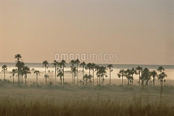 Buriti Palm (Mauritia vinifera) trees at dawn, in typical gallery forest bordering streams and wetla