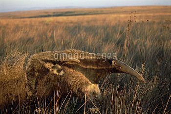 Giant Anteater (Myrmecophaga tridactyla) mother carrying young on her back, feeding at sunset in dry