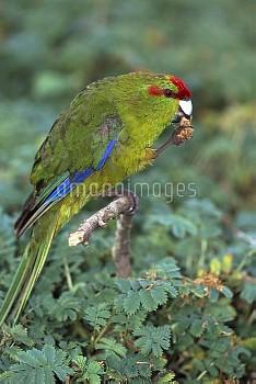 Red-fronted Parakeet (Cyanoramphus novaezelandiae) eating bidibid seeds, Enderby Island, Auckland Gr