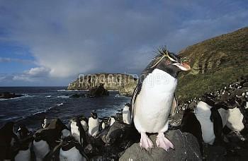 Rockhopper Penguin (Eudyptes chrysocome) nesting colony on boulder slope, Penguin Bay, Campbell Isla