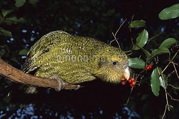 Kakapo (Strigops habroptilus) flightless nocturnal parrot, hand-reared, feeding on Supplejack berrie