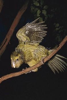 Kakapo (Strigops habroptilus) flightless nocturnal parrot, hand-reared, scrambling through scrub in