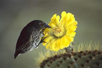 Common Cactus-Finch (Geospiza scandens) feeding on Opuntia (Opuntia sp) catus flower, Santa Cruz Isl