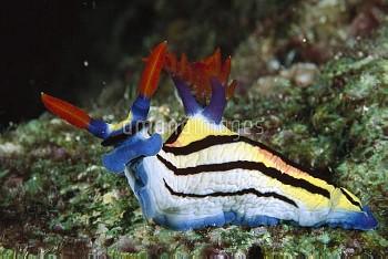 Nembrotha Nudibranch (Nembrotha rutilans) portrait, underwater, Manado, North Sulawesi, Indonesia