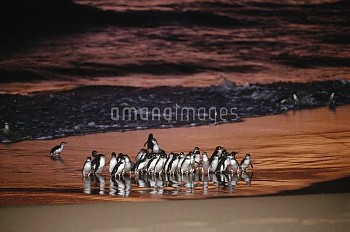 Little Blue Penguin (Eudyptula minor) group coming ashore at dusk after hunting, Port Campbell, Vict