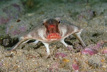 Red-lipped Batfish (Ogcocephalus darwini) portrait, Galapagos Islands, Ecuador