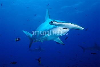 Scalloped Hammerhead Shark (Sphyrna lewini) swimming among reef fish Galapagos Islands, Ecuador