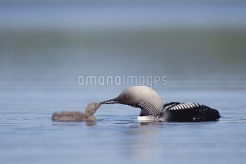 Pacific Loon (Gavia pacifica) parent feeding chick, North America