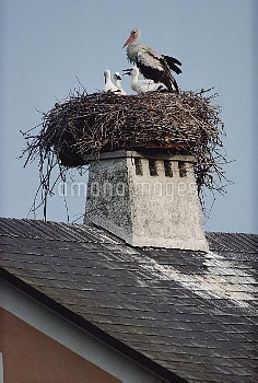 White Stork (Ciconia ciconia) and chicks nesting on a rooftop, Illmitz, Austria