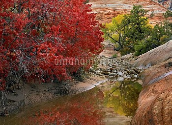Maple (Acer sp) and Cottonwood (Populus sp) trees in autumn, Zion National Park, Utah