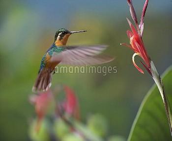 Grey-tailed Mountain Gem (Lampornis cinereicauda) hummingbird female foraging, Costa Rica