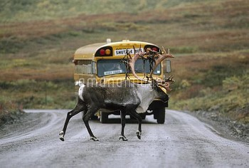Caribou (Rangifer tarandus) crossing road in front of school bus, Denali National Park and Preserve,