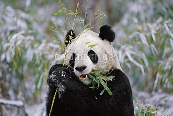 Giant Panda (Ailuropoda melanoleuca) eating bamboo, Wolong Valley, China