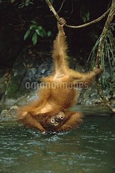 Orangutan (Pongo pygmaeus) bathing in river while hanging upside-down from vine, Gunung Leuser Natio