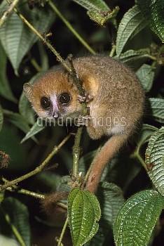 Brown Mouse Lemur (Microcebus rufus), Madagascar