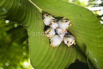 Honduran White Bat (Ectophylla alba) roosting under Heliconia (Heliconia sp) leaf, Braulio Carrillo