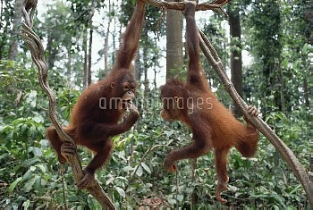 Orangutan (Pongo pygmaeus) pair playing in trees, Borneo