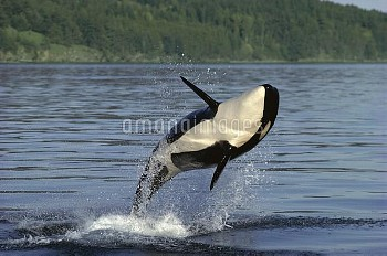Orca (Orcinus orca) breaching, Inside Passage, Alaska