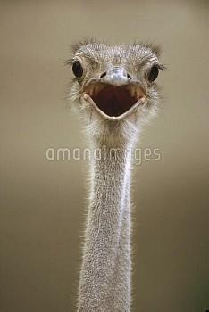 Ostrich (Struthio camelus) female calling, east Africa