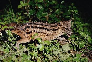 Striped Civet (Fossa fossana) side view portrait, eastern Madagascar