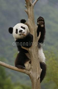Giant Panda (Ailuropoda melanoleuca) cub climbing tree, Wolong Nature Reserve, China