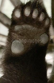 Giant Panda (Ailuropoda melanoleuca) detail of underside of paw, China Conservation and Research Cen
