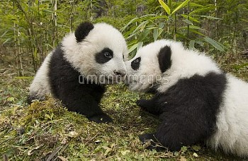 Giant Panda (Ailuropoda melanoleuca) two cubs touching noses, Wolong Nature Reserve, China