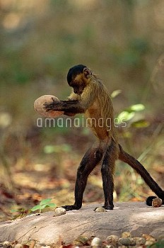 Brown Capuchin (Cebus apella) stabilizes itself with its prehensile tail while using a heavy rock ha