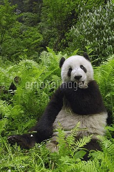 Giant Panda (Ailuropoda melanoleuca) eating bamboo, Wolong China Conservation and Research Center fo