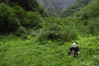 Giant Panda (Ailuropoda melanoleuca) sitting in vegetation eating, Wolong China Conservation and Res
