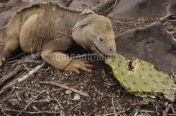 Santa Fe Land Iguana (Conolophus pallidus) eating Optunia cactus, Santa Fe Island, Galapagos Islands