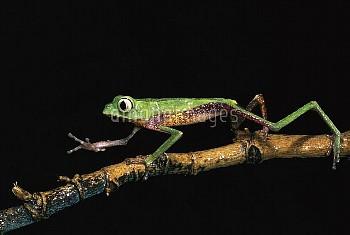 White-lined Leaf Frog (Phyllomedusa vaillanti) walking along plant stem, Pastaza, Amazon rainforest,