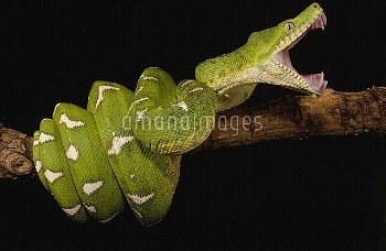 Emerald Tree Boa (Corallus caninus) showing independent mobility of four jaws, Amazon, Ecuador