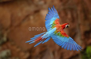 Red and Green Macaw (Ara chloroptera) flying, wings spread, back view, wild, ranges from humid east
