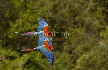 Red and Green Macaw (Ara chloroptera) pair flying, Cerrado habitat, Mato Grosso do Sul, Brazil