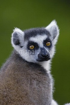 Ring-tailed Lemur (Lemur catta) portrait in the Andringitra Mountains, vulnerable, south central Mad